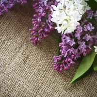 beautiful blooming lilac on the table of burlap