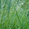 grass_dew