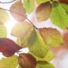 Beautiful autumn background with beech leaves