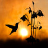 A humming bird silhouette during a misty morning feeding at a columbine flower.