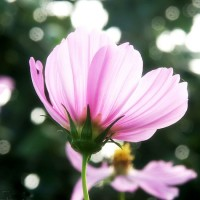 [wallcoo_com]_cosmos_FLOWER_PICTURE_32_349_2